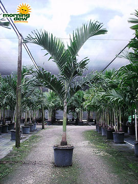 Palm: Adonidia (17 in.)