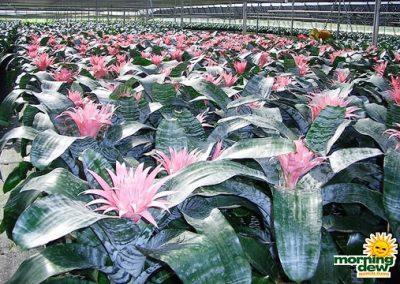 Bromeliads: Aechmea Primera