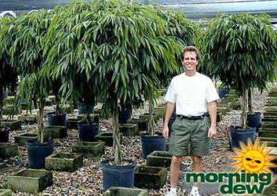 Ficus: Alii Braid