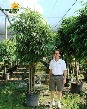 Ficus: Alii (Multiple)
