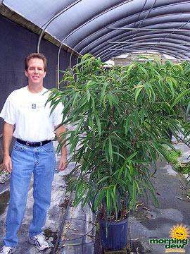 Ficus: Alli Bush