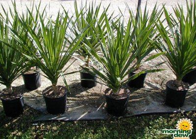 Dracaenas: Arborea 1P  (10 in.)