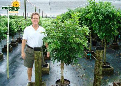 Schefflera: Arboricola Braid