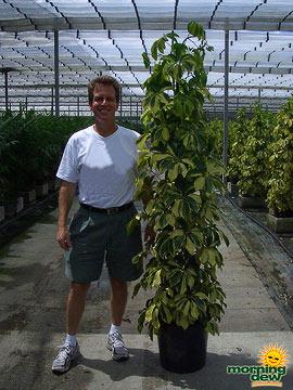 Schefflera: Arboricola Dazzle Pyramid