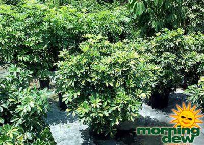 Schefflera: Arboricola Gold Capella