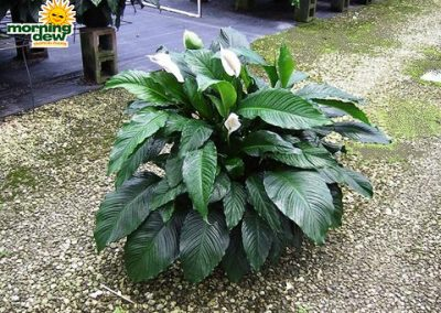 Spathiphyllum: Avalon