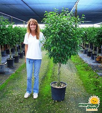 Ficus: Benjamina Braid