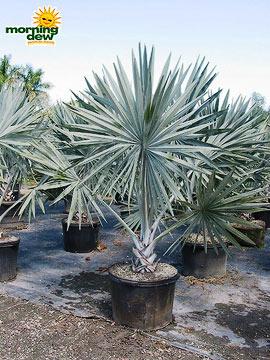 Palm: Bismarkia Silver