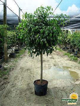 Ficus: Brazil Std.