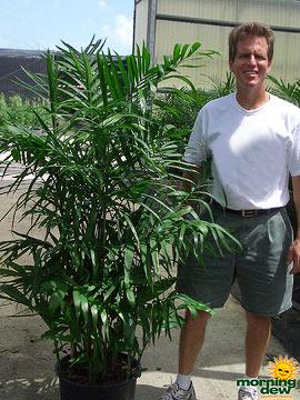 Palm: Chamaedorea Florida Hybrid