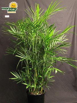Palm: Chamaedorea Seifrizii