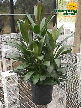 Dracaenas: Cordyline Glauca (10 in.)