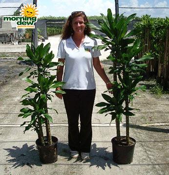 Dracaenas: Costaricanna Cane (10 & 12 in.)