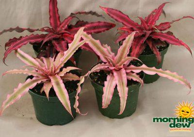 Bromeliads: Cryptanthus