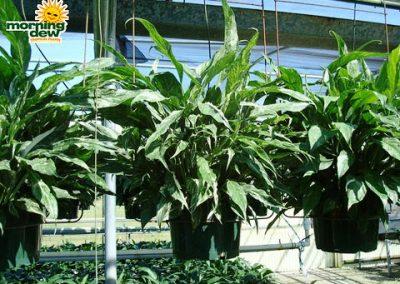 Spathiphyllum: Domino