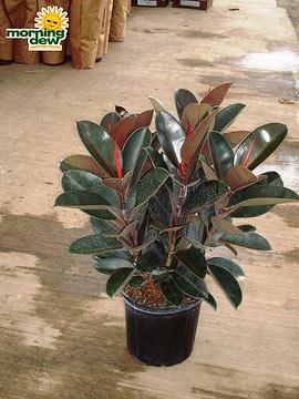 Ficus: Elastica Burgandy