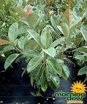 Ficus: Elastica Robusta