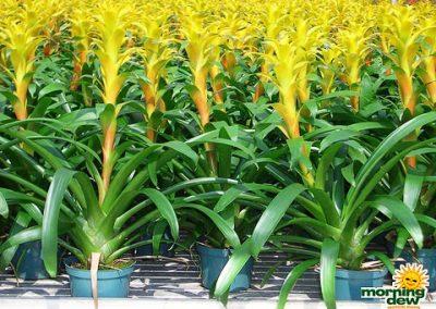 Bromeliads: Guzmania Marjan