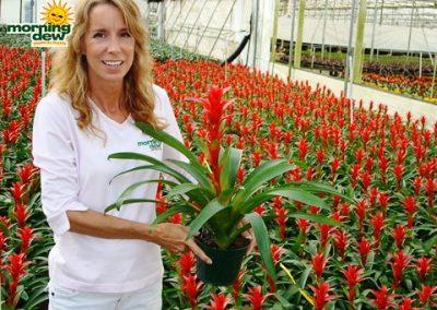 Bromeliads: Guzmania Rana
