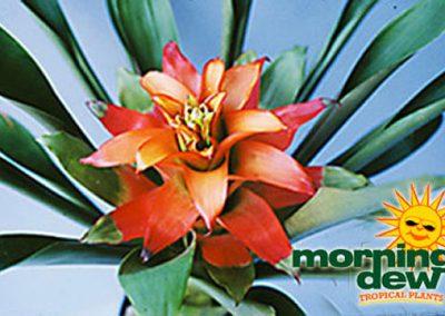 Bromeliads: Guzmania Red Pearl