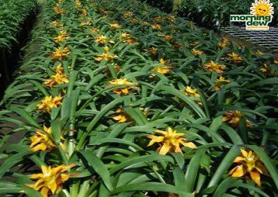 Bromeliads: Guzmania Sunshine