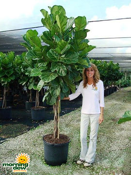 Ficus: Lyrata Braid