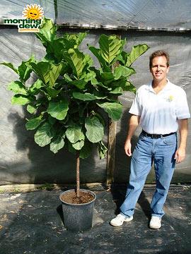 Ficus: Lyrata Std.