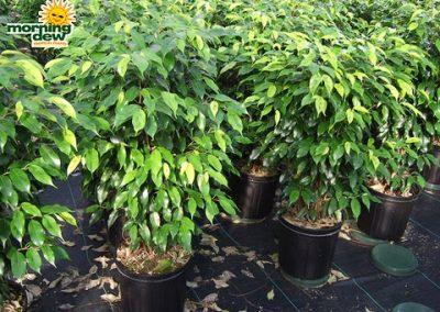 Ficus: Margarita Bush