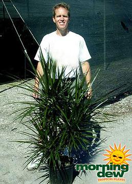 Dracaenas: Marginata Cutback (10 in.)