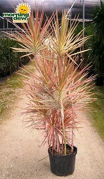 Dracaenas: Marginata Tricolor (14 in.)
