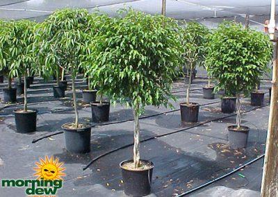 Ficus: Monique Std.