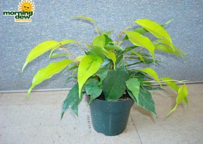 Ficus: Neon