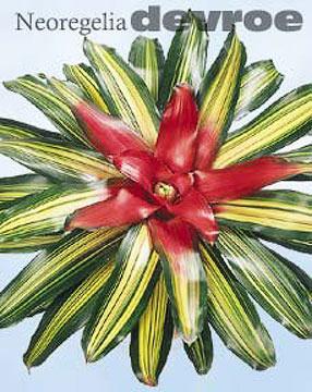Bromeliads: Neoregelia Devroe