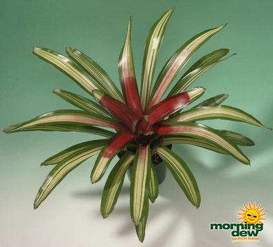 Bromeliads: Neoregelia Martin