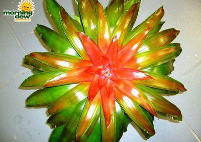 Bromeliads: Neoregelia Medusa