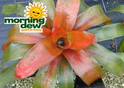 Bromeliads: Neoregelia Scarlet Charlotte