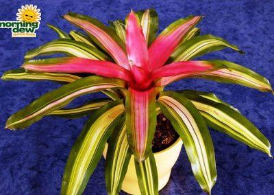 Bromeliads: Neoregelia Tricolor