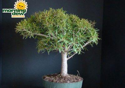 Ficus: Nerifolia