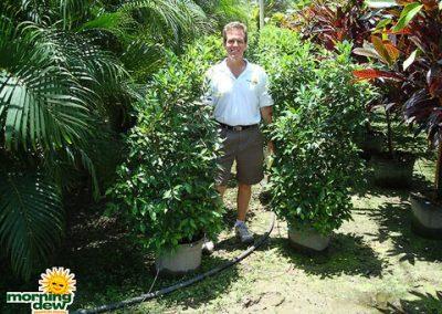 Ficus: Nitida Bush