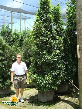 Ficus: Nitida Cone