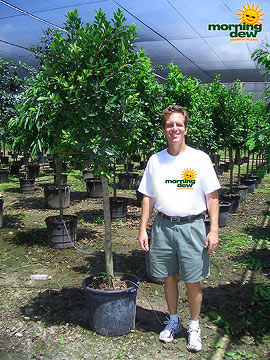 Ficus: Nitida Std.