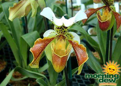 Orchid: Paphiopedilum