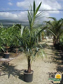 Palm: Parrot