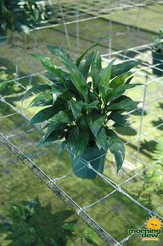 Spathiphyllum: Petite