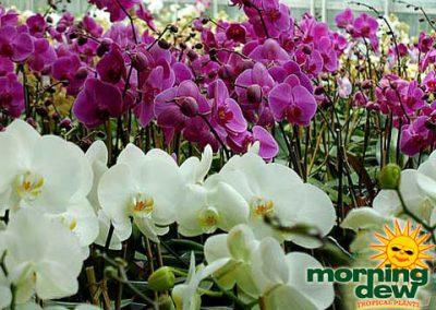 Orchid: Phalaenopsis