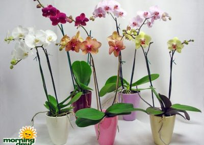 Orchid: Phalenopsis Double Spike