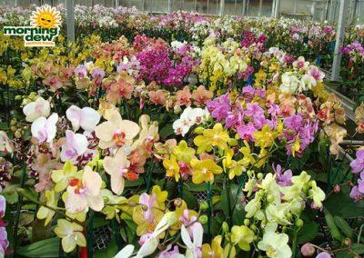 Orchid: Phalaenopsis Novelty Minis