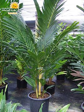 Palm: Pinanga Kuhlii (Ivory Cane)