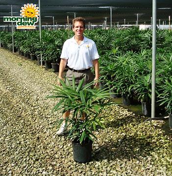 Palm: Rhapis Subtilis
