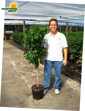 Ficus: Spire Std.